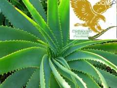 photo de ALOE VERA ST MALO